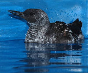 Black Guillemot (April-May)