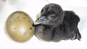 Common Loon hatchling with egg