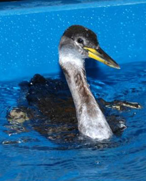 Red-necked Grebe (March)