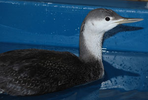 Red-throated Loon (March)