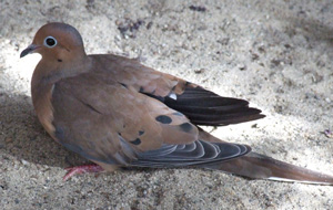 Mourning Dove with a shoulder injury caused by a window strike